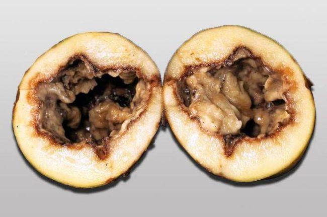 Гниль в середине разрезанной картошки, зараженной черной ножкой