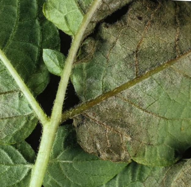 Внутренняя сторона листа картофеля с признаками проявления черной парши