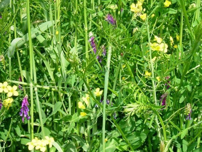 Цветения сидератных растений, выращиваемых на картофельном поле