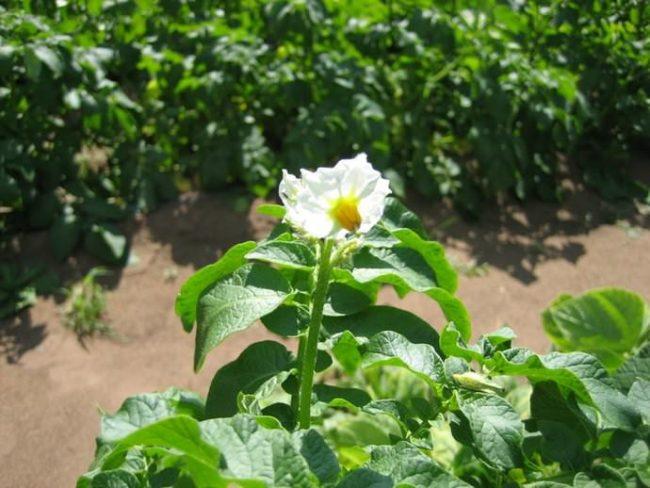 Белый цветок среднего размера на кусту картофеля сорта Скарб