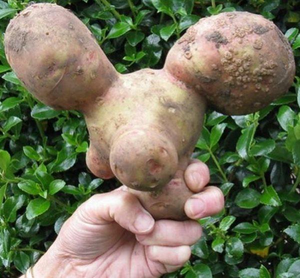 Деформированная картофелина в руке огородника-любителя