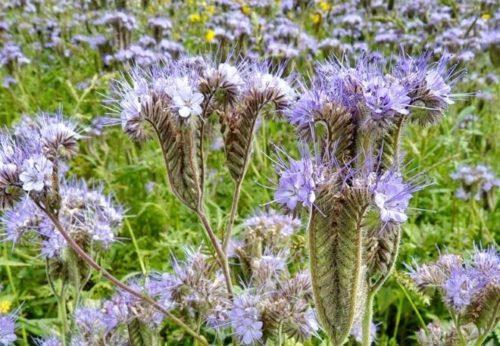 Цветение фацелии, выращиваемой в качестве сидерата на огородном участке