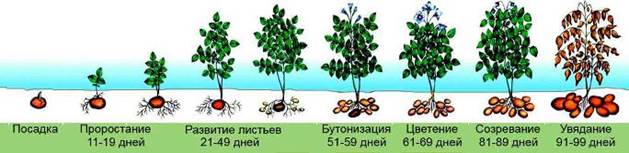 Схема фаз роста и созревания картофеля на грядке