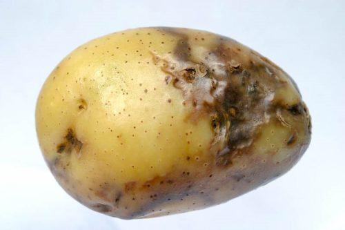 Корнеплод картофеля с типичными признаками поражения фитофтрозом