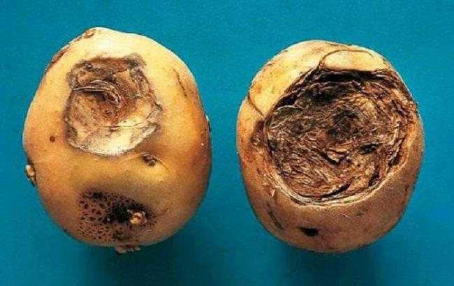 Две картошины с признаками поражения пуговичной гнилью или фомозом