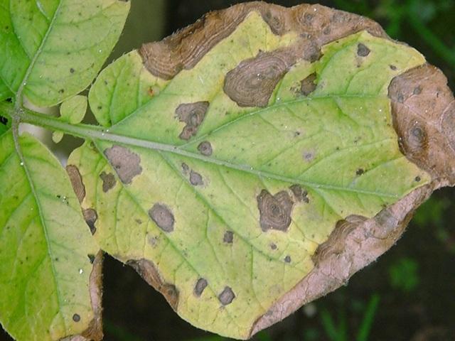 Первичные признаки проявления фомоза картофеля в виде темных пятен на листьях