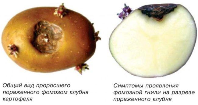 Симптомы проявления фомоза на клубне картофеля и разрез плода с типичными признаками заболевания