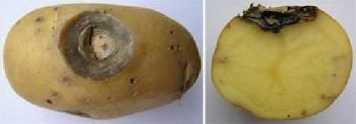 Признаки фомоза: палое пятно темного цвета на картофелине и разрез зараженного плода