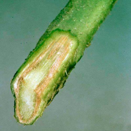 Срез зеленого побега картофеля с симптомами первичного поражения фузариозом