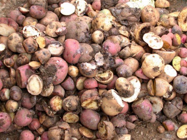 Гнилые и порченные клубни картофеля после переборки хранилища