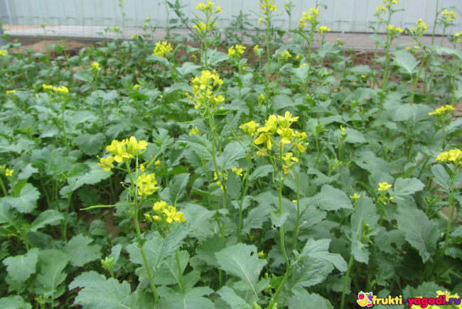 Горчица на садовом участке цветёт