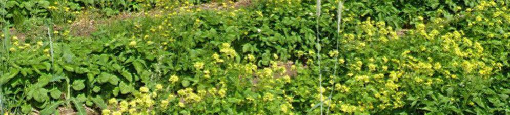 Горчица цветёт после картошки в виде сидерата