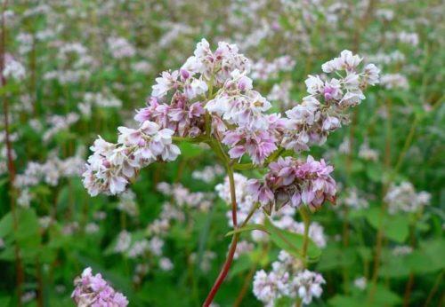 Цветки гречихи, используемой для повышения плодородности почвы