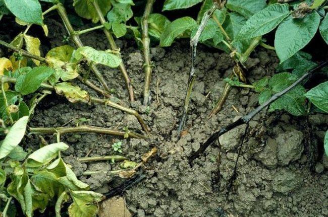 Стебли и листья картофеля с признаками поражения растения черной ножкой