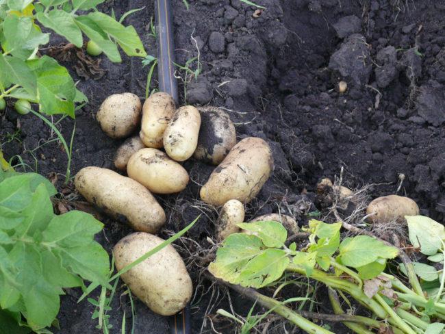 Выкопанные клубни картошки на поверхности земли и труба капельного полива