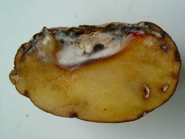 Разрез плода картофеля в месте поражения кольцевой ямочной гнили