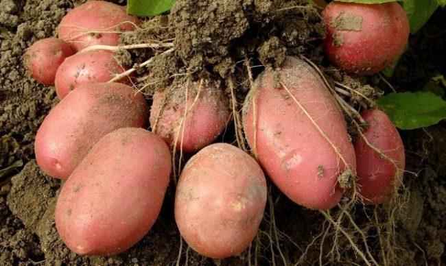 Клубни картофеля сорта Беллароза с кожурой розового окраса