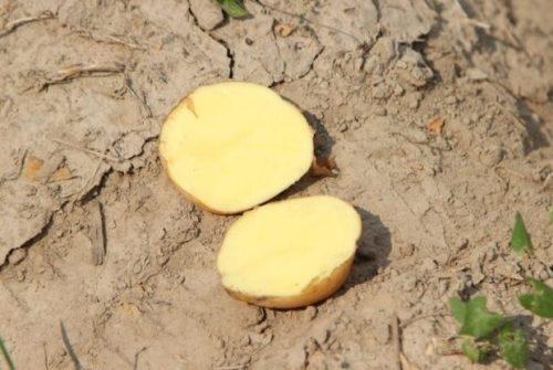 Разрезанный клубень картофеля голландского сорта Импала