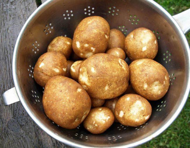 Мытые клубни картошки генно-модифицированного сорта Киви