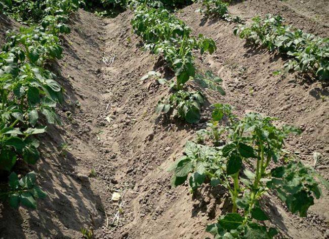 Окученные кусты молодой картошки на грядке приусадебного участка