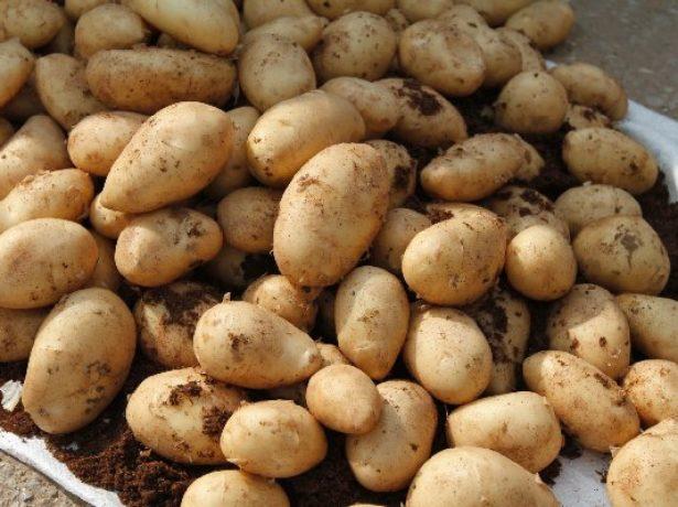 Горка клубней различного размера гибридного картофеля сорта Скарб