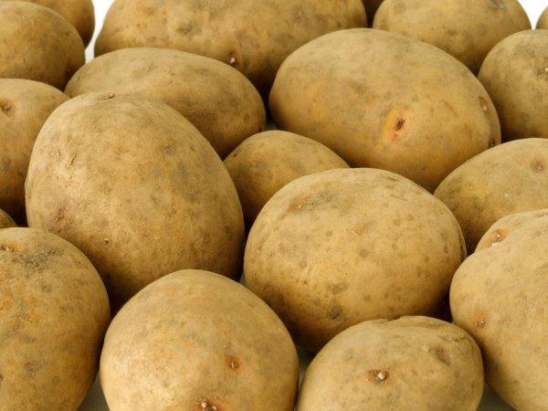 Клубни селекционного картофеля сорта Скарб крупным планом