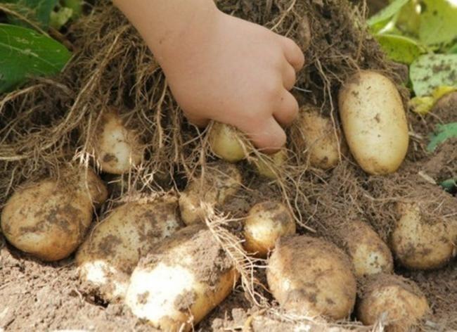 Клубни картофеля раннего срока созревания сорта Удача отечественной селекции