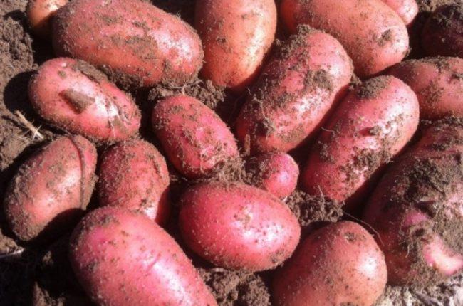 Корнеплоды картофеля сорта Жуковский с кожицей красноватого оттенка