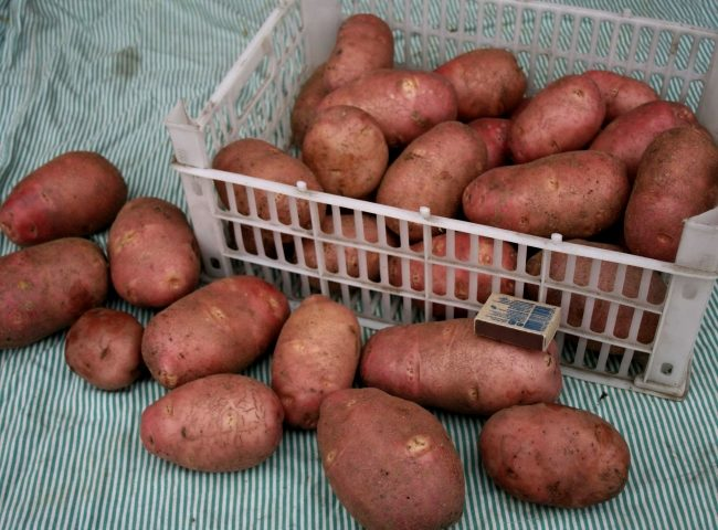 Клубни картофеля сорта Жуковский в пластиковом ящике и спичечный коробок