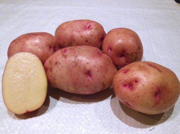 Корнеплоды раннего картофеля сорта Жуковский и срез одного клубня с белой мякотью