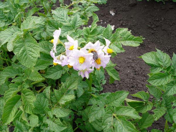 Куст картофеля с темно-зеленой ботвой и светлыми цветками сиреневого оттенка