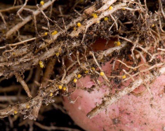 Корешки картофеля с мелкими золотистыми шариками – поражение растения нематодой
