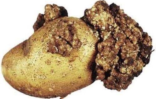 Картофель с уродливыми наростами при заражении культуры раком