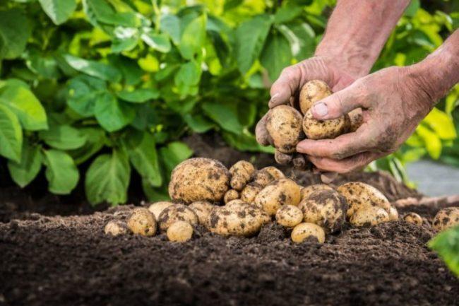 Плоды картофеля прямо с грядки