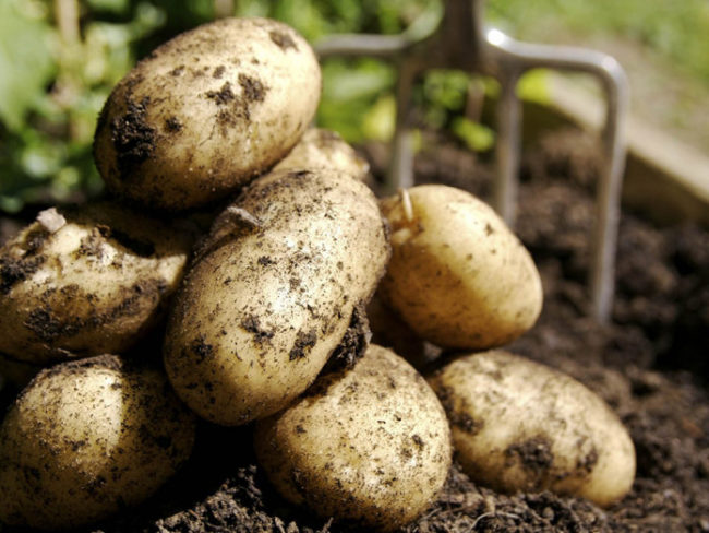 Горка картошин сорта Адретта, выкопанные с одного куста на приусадебном участке