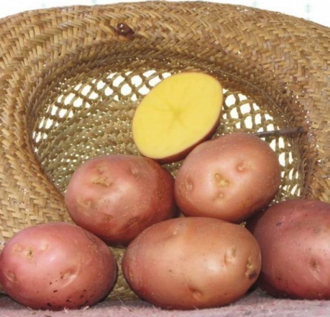 Корнеплоды картофеля сорта Беллароза в плетенной соломенной шляпе