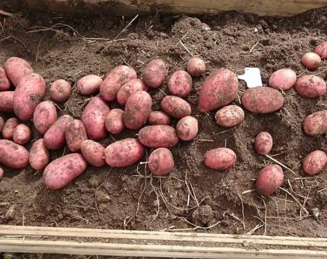 Выкопанная картошка сорта Беллароза с клубнями различного размера