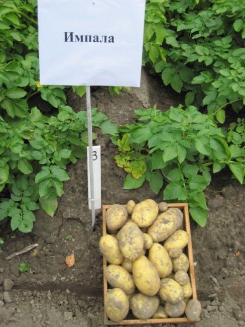 Ящик с выкопанными клубнями и кусты картофеля сорта Импала