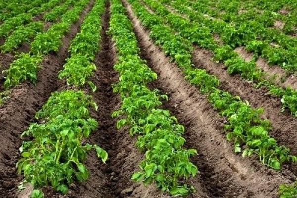 Ряды картофеля, выращиваемого по голландской методике на приподнятых гребнях