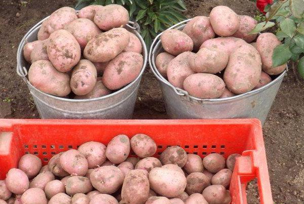 Ведра и ящик с семенной картошкой для проращивания перед посадкой
