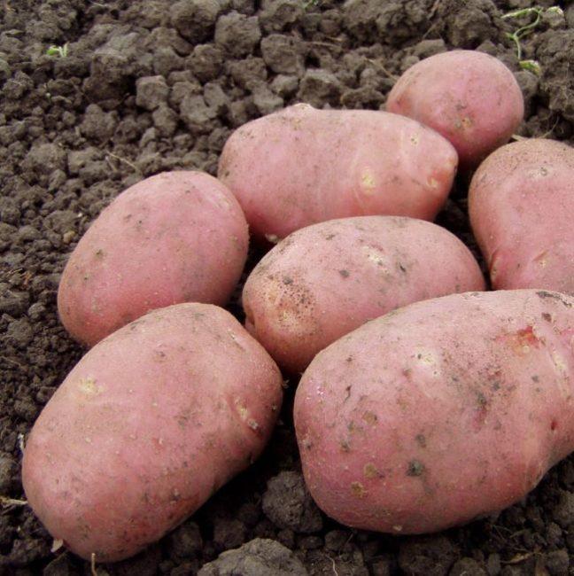 Крупные клубни картофеля голландского сорта Рокко