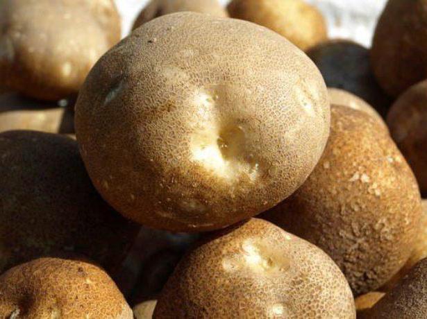 Клубни картошки генно-модифицированного сорта Киви среднего срока созревания