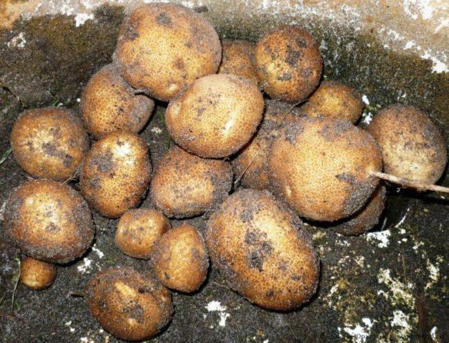 Корнеплоды картофеля сорта Киви на хранении в погребе