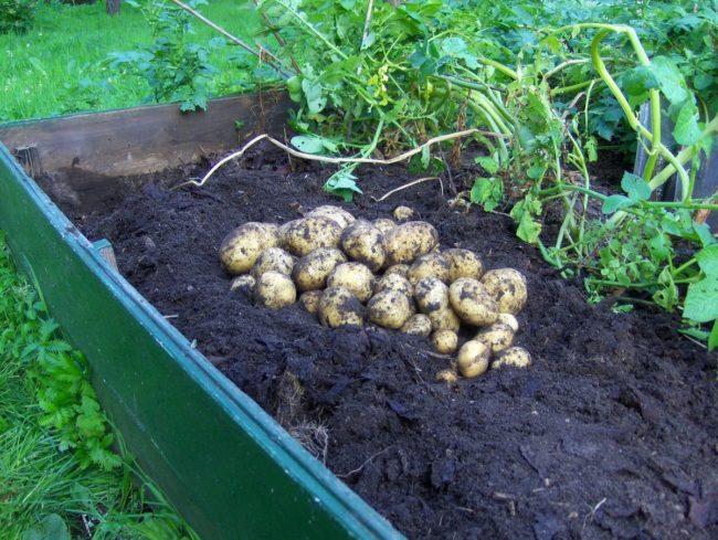 Кучка выкопанного картофеля сорта Невская на высокой грядке с бортами из досок