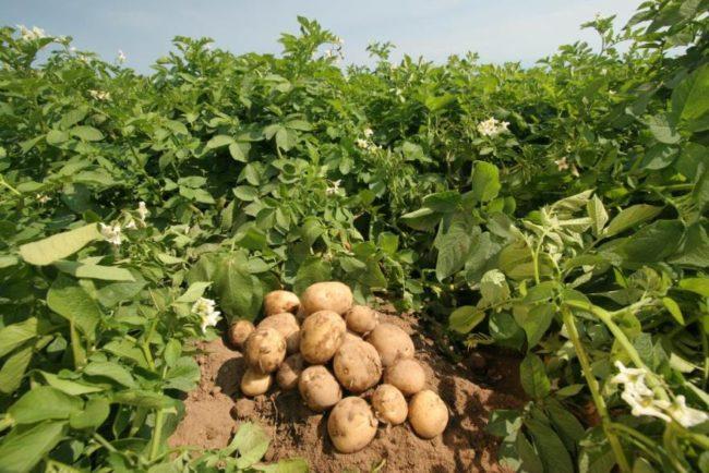 Клубни и кусты картофеля столового сорта Удача от российских селекционеров