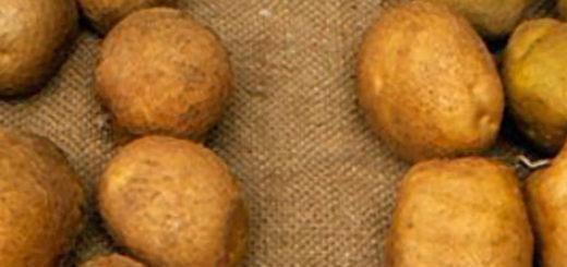 Клубни картошки сорта Киви вблизи