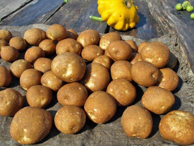 Крупные клубни столового сорта картофеля Киви с бархатистой кожурой