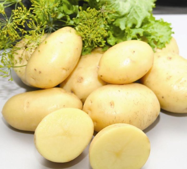 Мытые клубни картофеля сорта Импала от голландских селекционеров