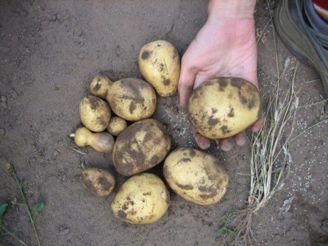 Клубни картошки сорта Скарб, выкопанные на пробу огородником-любителем