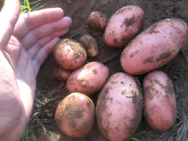 Горстка красного картофеля голландского сорта Ред Скарлет на земле